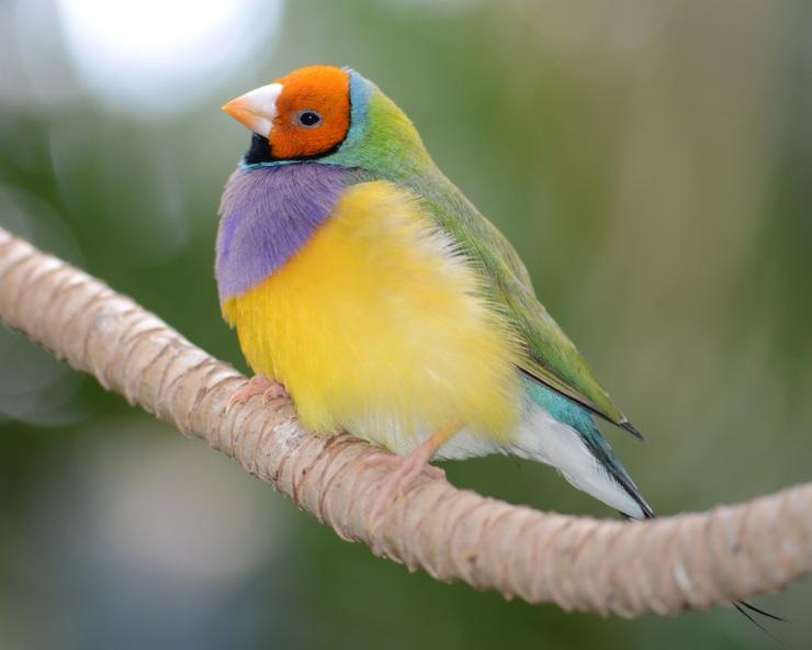 Гульдова амадина – одна из самых ярких и красивых птиц